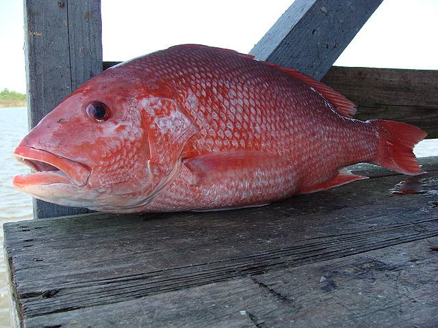 5 Things to know about Snapper Season in Mobile